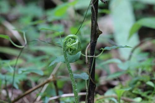 ゼンマイ・山菜の画像
