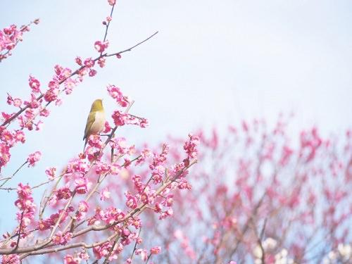 うぐいすと梅の画像